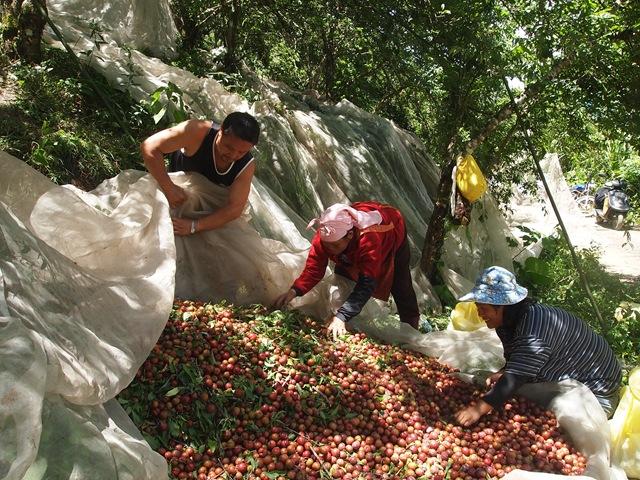 紅肉李採收。(圖片來源:上下游工作日誌網站)