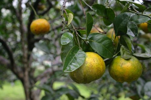 用有機栽培的茂谷柑外表不像慣行農法那麼漂亮,但美味和健康程度都是百分百