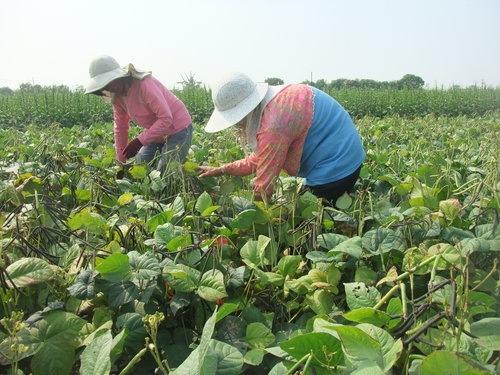 种植绿豆的步骤图