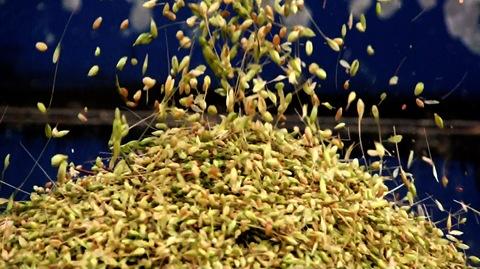 豐盛的小麥豐收(攝影郭志榮)