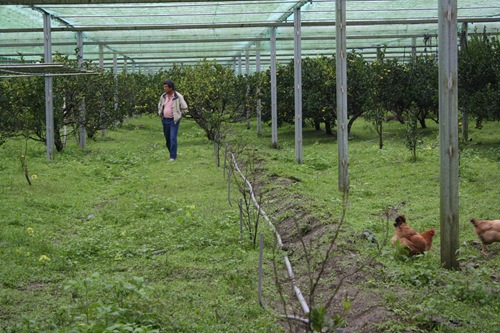 七分地的茂谷柑園裡有三十幾隻雞,這些雞最喜歡吃掉下來的茂谷柑,吃了好食物的「茂谷雞」連肉質都特別Q彈喔
