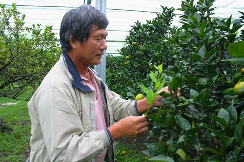 黃文欽每天都會到網室觀察茂谷柑的生長狀況,今年雨下太多收穫量可能比不上去年